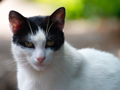 Δωρεάν στοκ φωτογραφιών με αιλουροειδές, αξιολάτρευτος, βλέπω, Γάτα