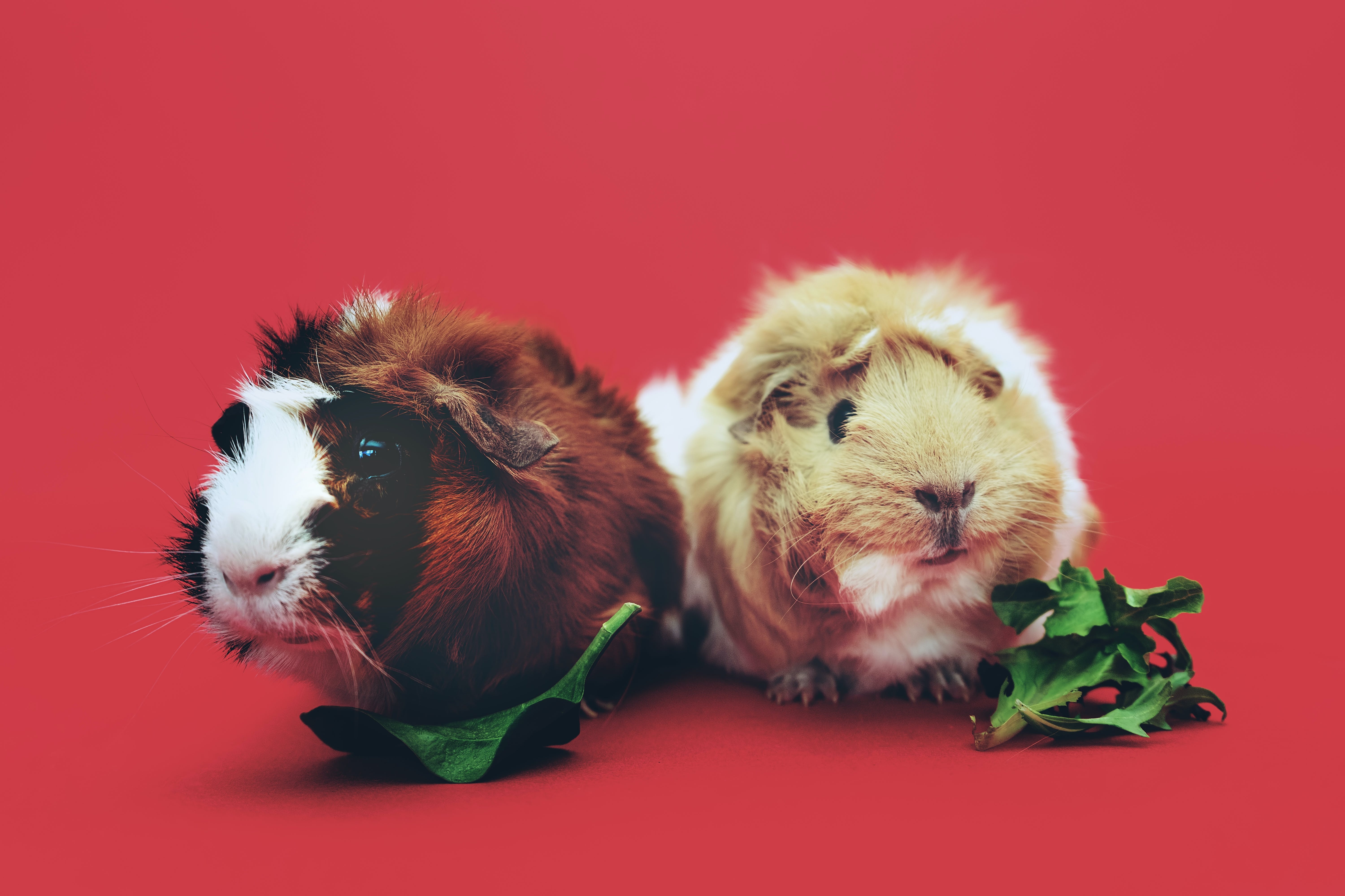 Two Brown and Beige Guinea Pigs