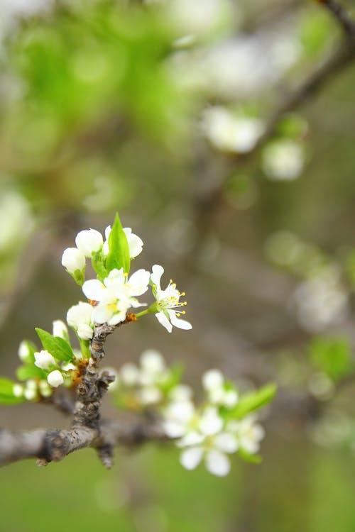 Immagine gratuita di canada, concentrarsi, fiore di pruno, fiori