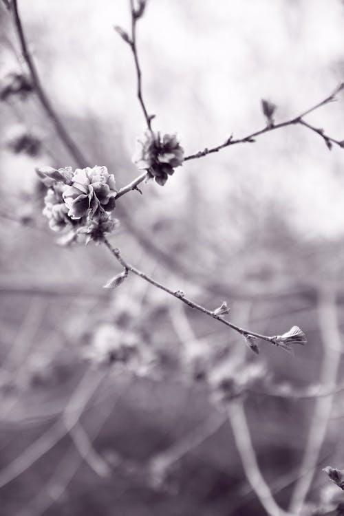 Immagine gratuita di canada, concentrarsi, fiori, germogli