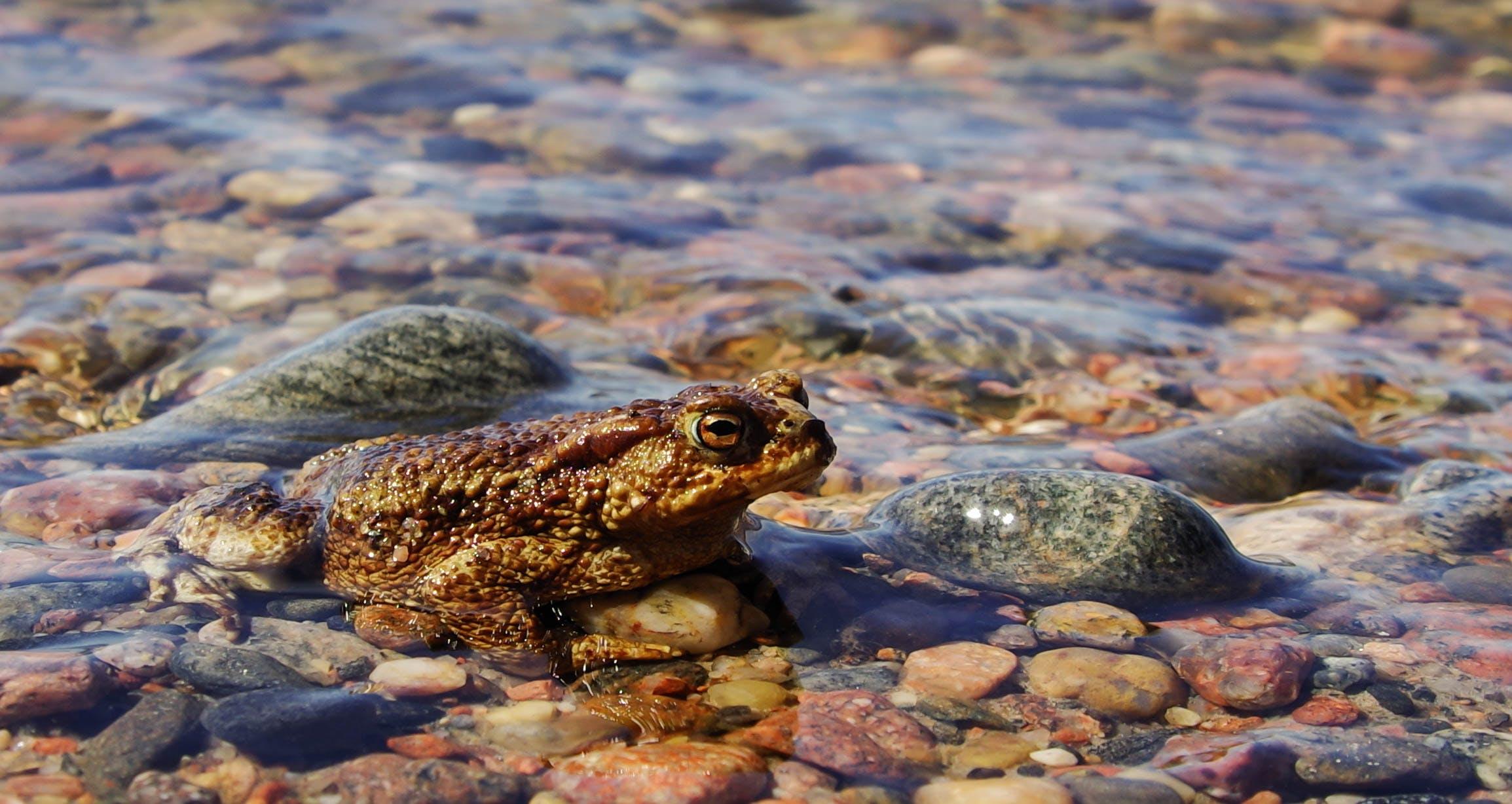 Kostenloses Stock Foto zu amphibie, felsen, fokus, frosch