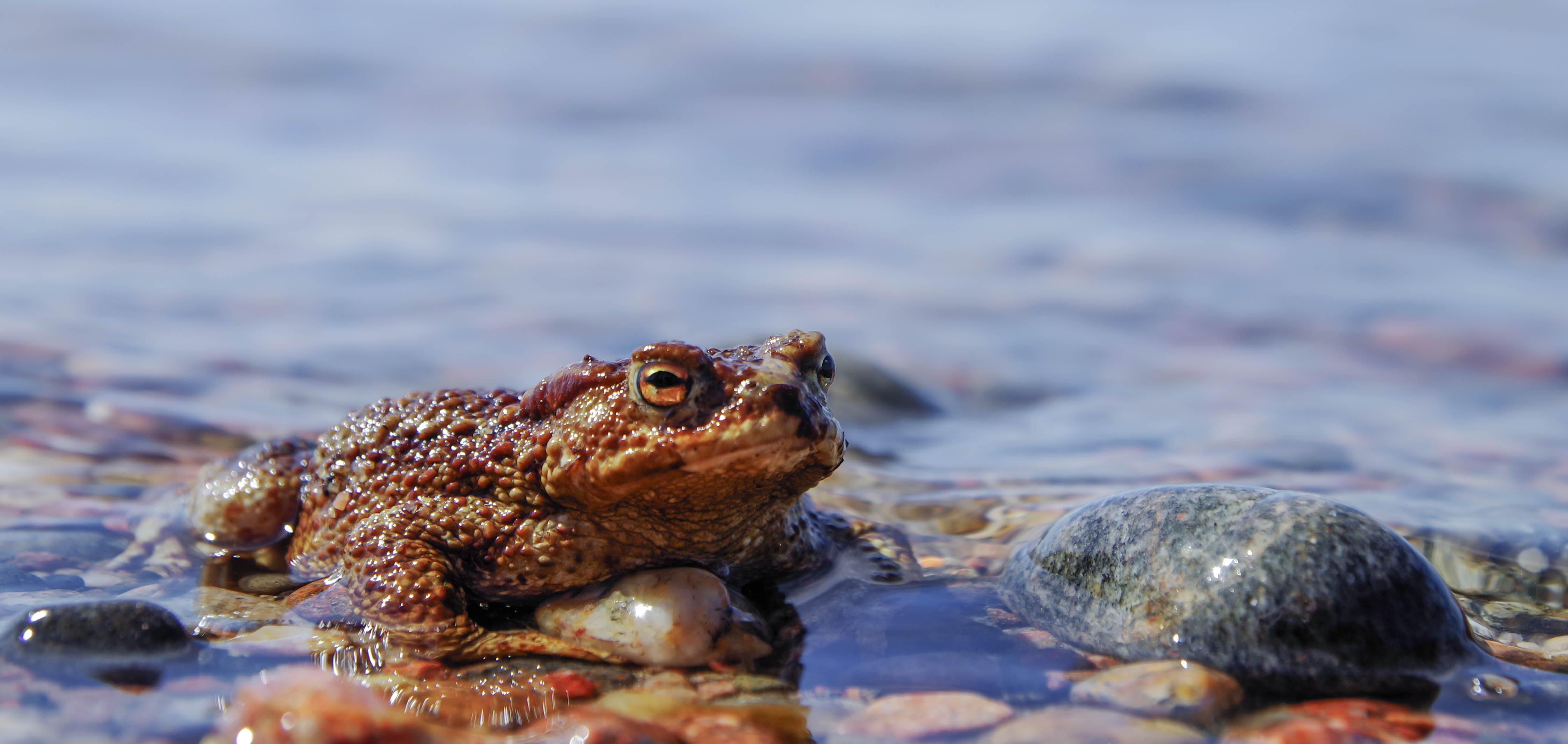 Brown Frog On Body Of Water