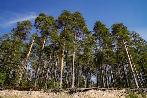 Immagine gratuita di alberi, ambiente, boschi, conifera