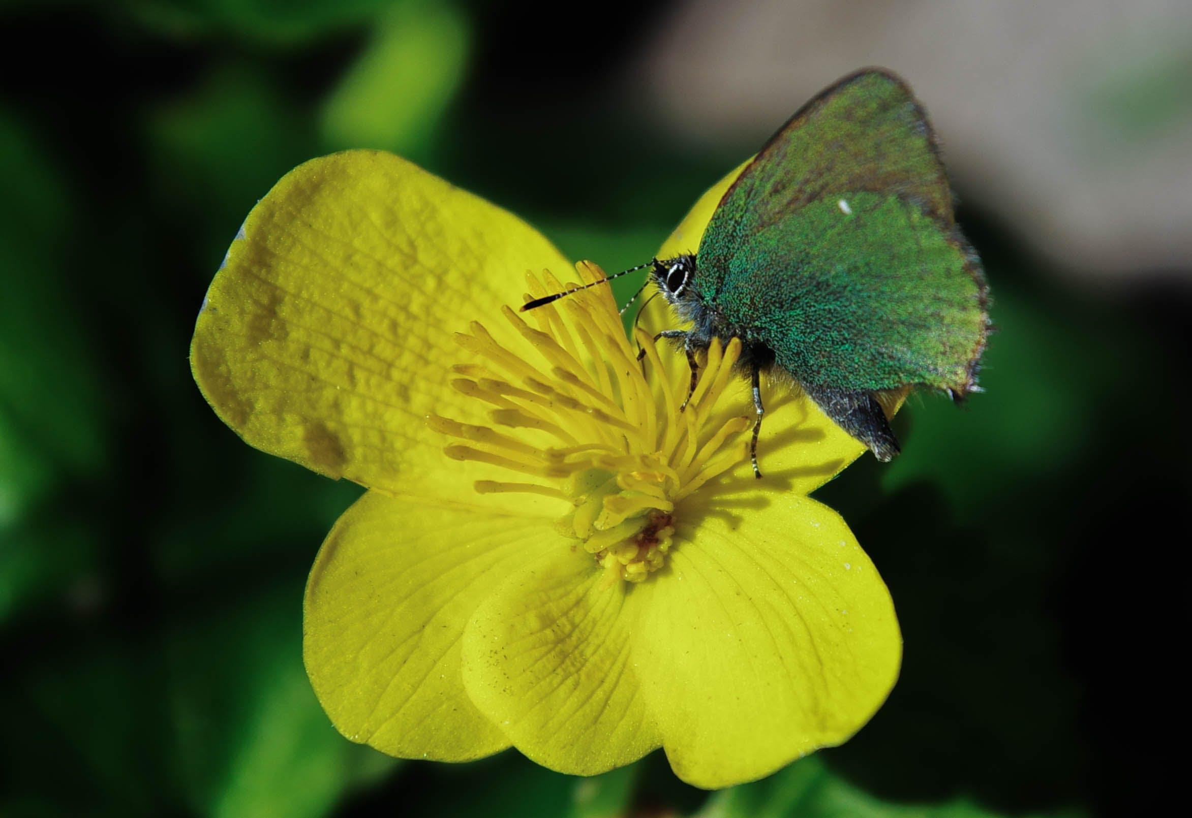 Green Butterfly on Rapeseed Flower