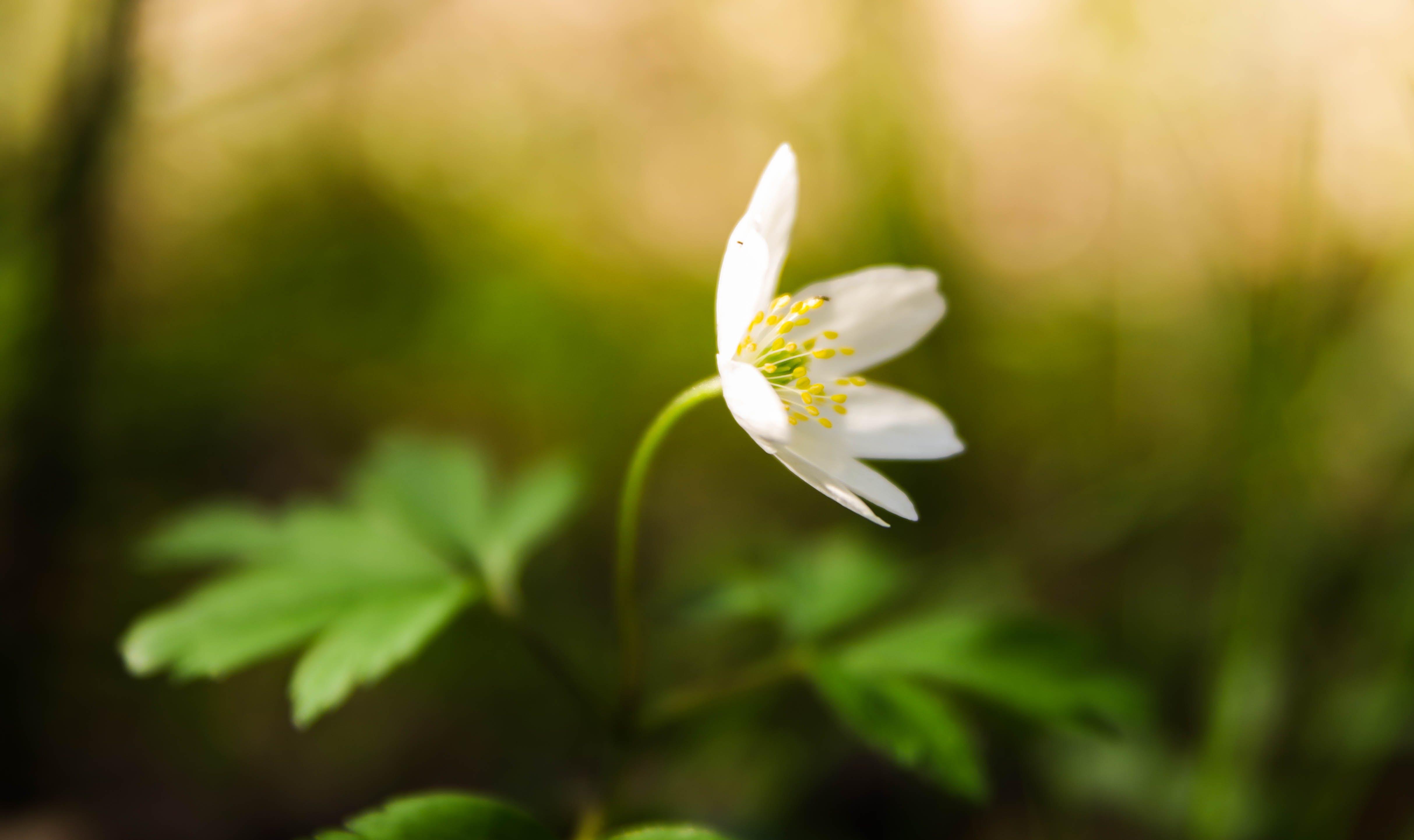White Stitchwort Flower