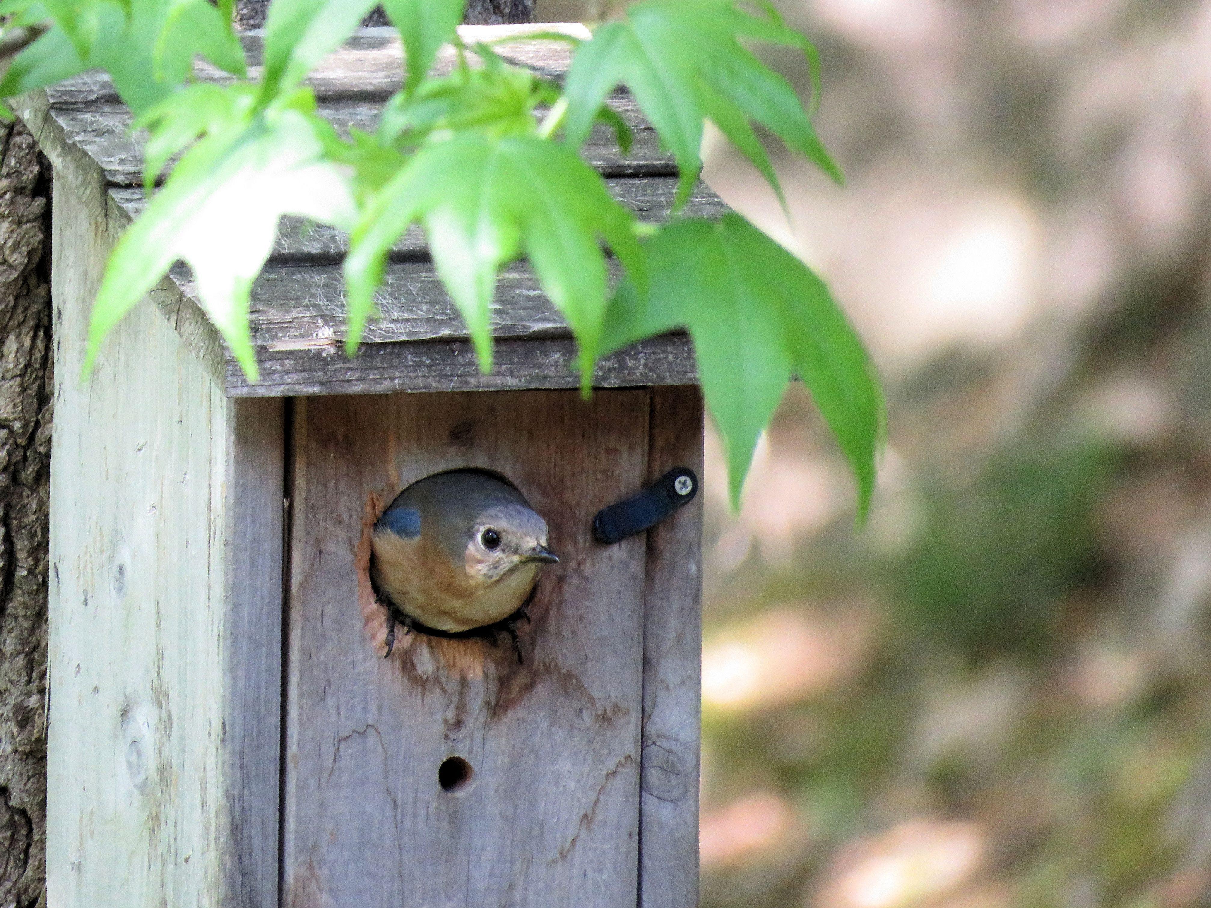 Free stock photo of home, bird house, nest, blue bird
