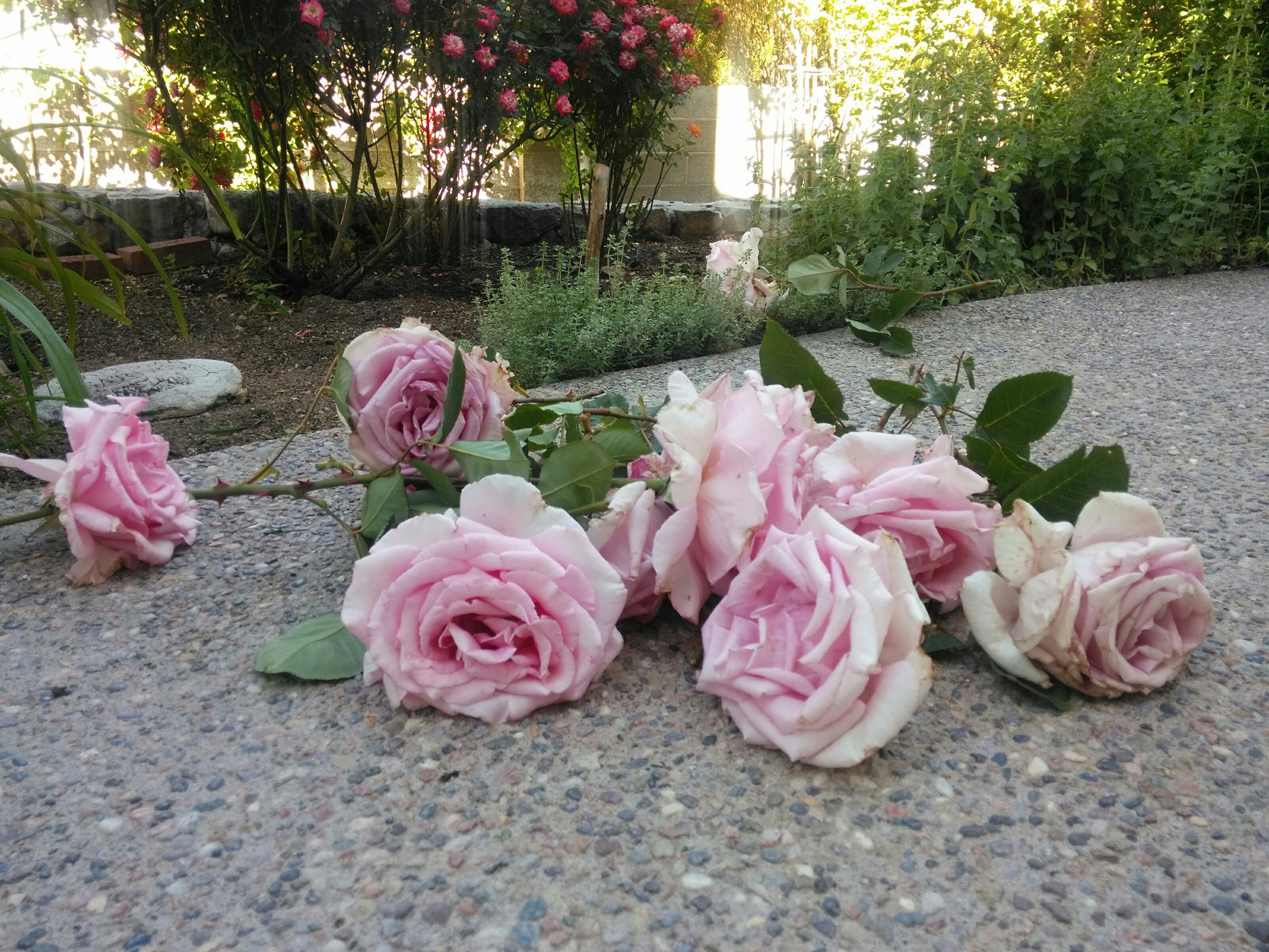 Free stock photo of flower garden, past, pink roses
