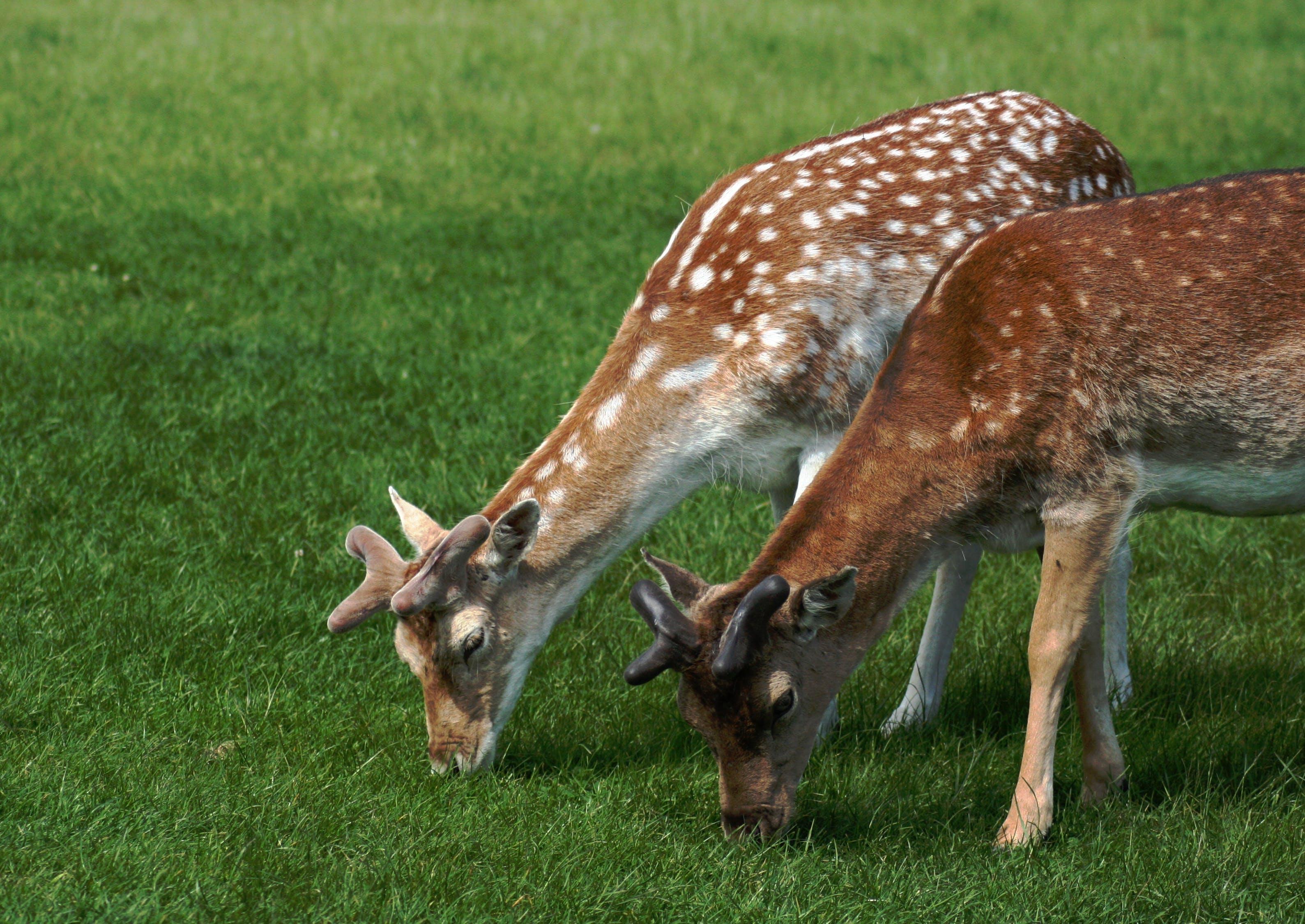 Free stock photo of deer, fallow deer, grazing deer, young stags