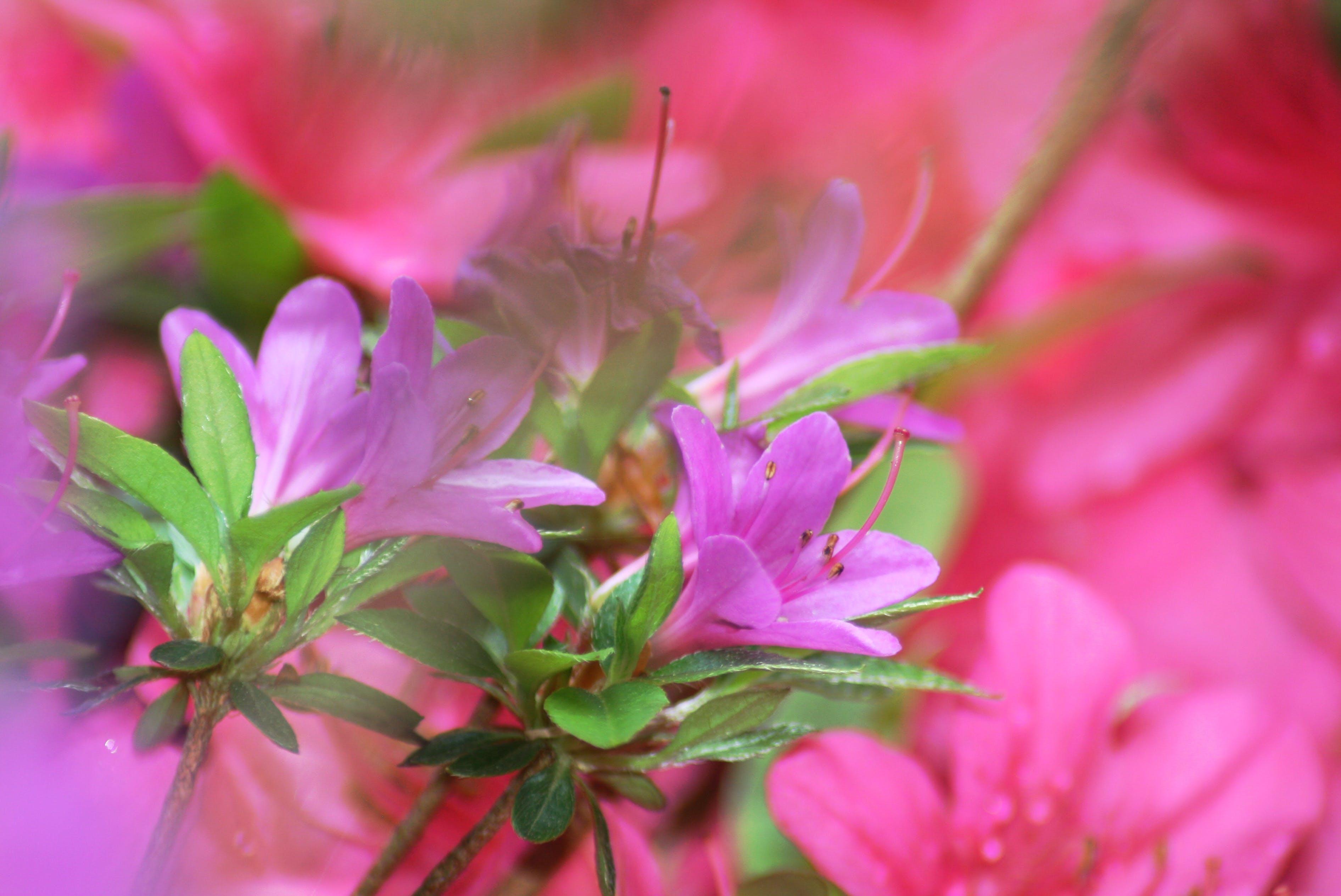 Free stock photo of bush, flowers, pink flowers
