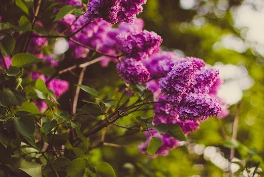 Purple Cluster Petaled Flower Focus Photography