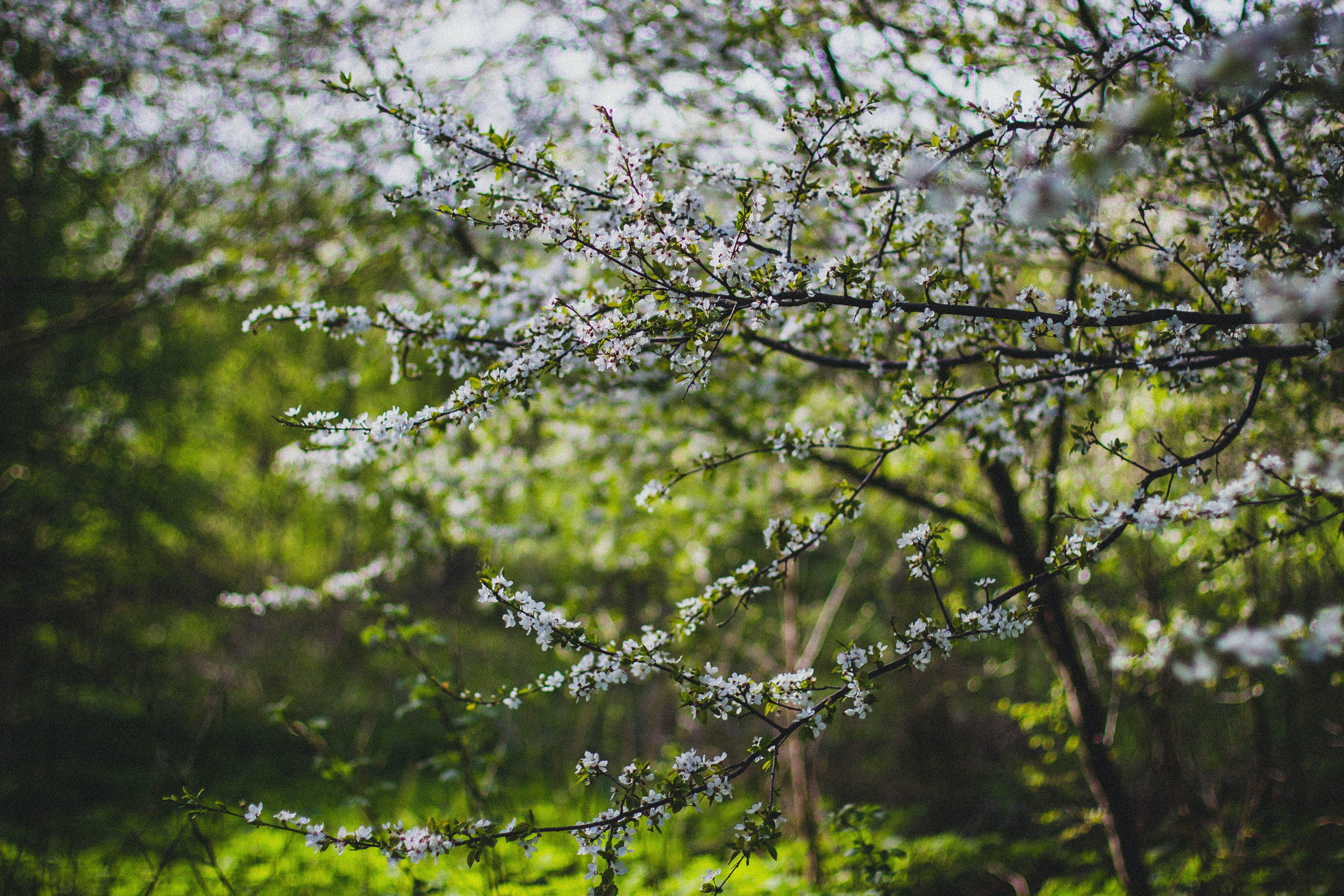 White Cherry Blossom Flowering Tree