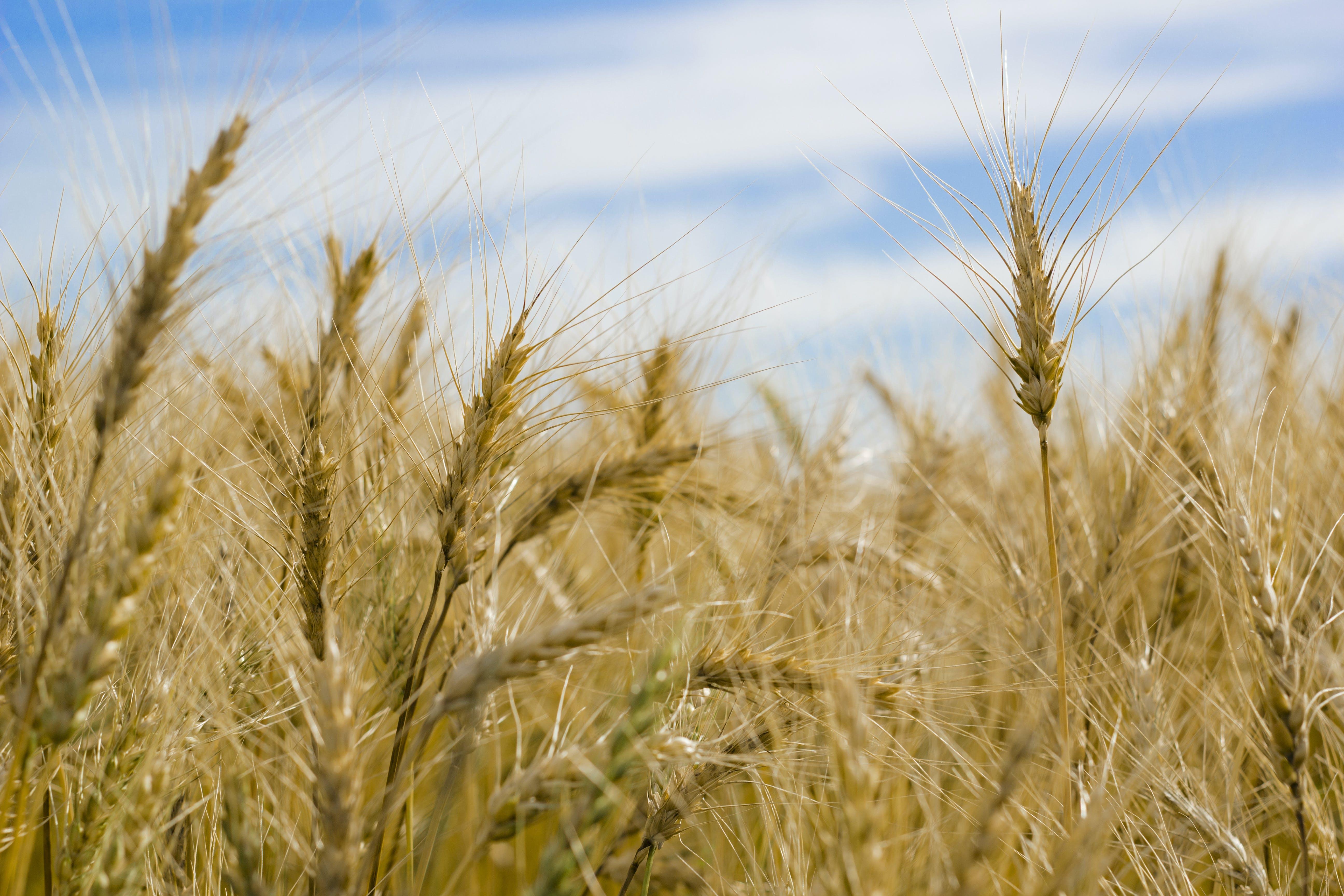 Immagine gratuita di azienda agricola, cannuccia, coltivazione, nuvole