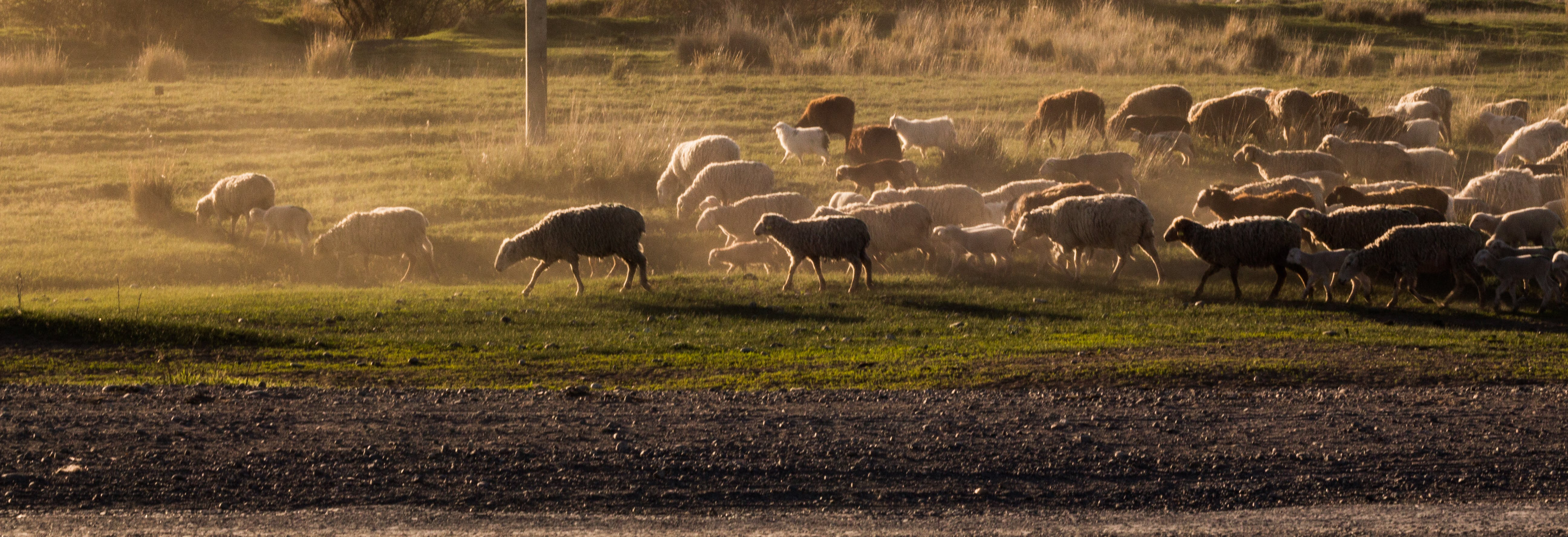 Free stock photo of drove, rural, sheeps, sunset