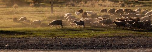 Gratis lagerfoto af får, kørte, solnedgang