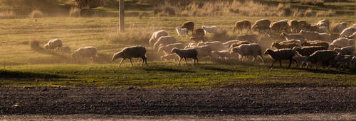 Fotobanka sbezplatnými fotkami na tému išli, ovce, západ slnka