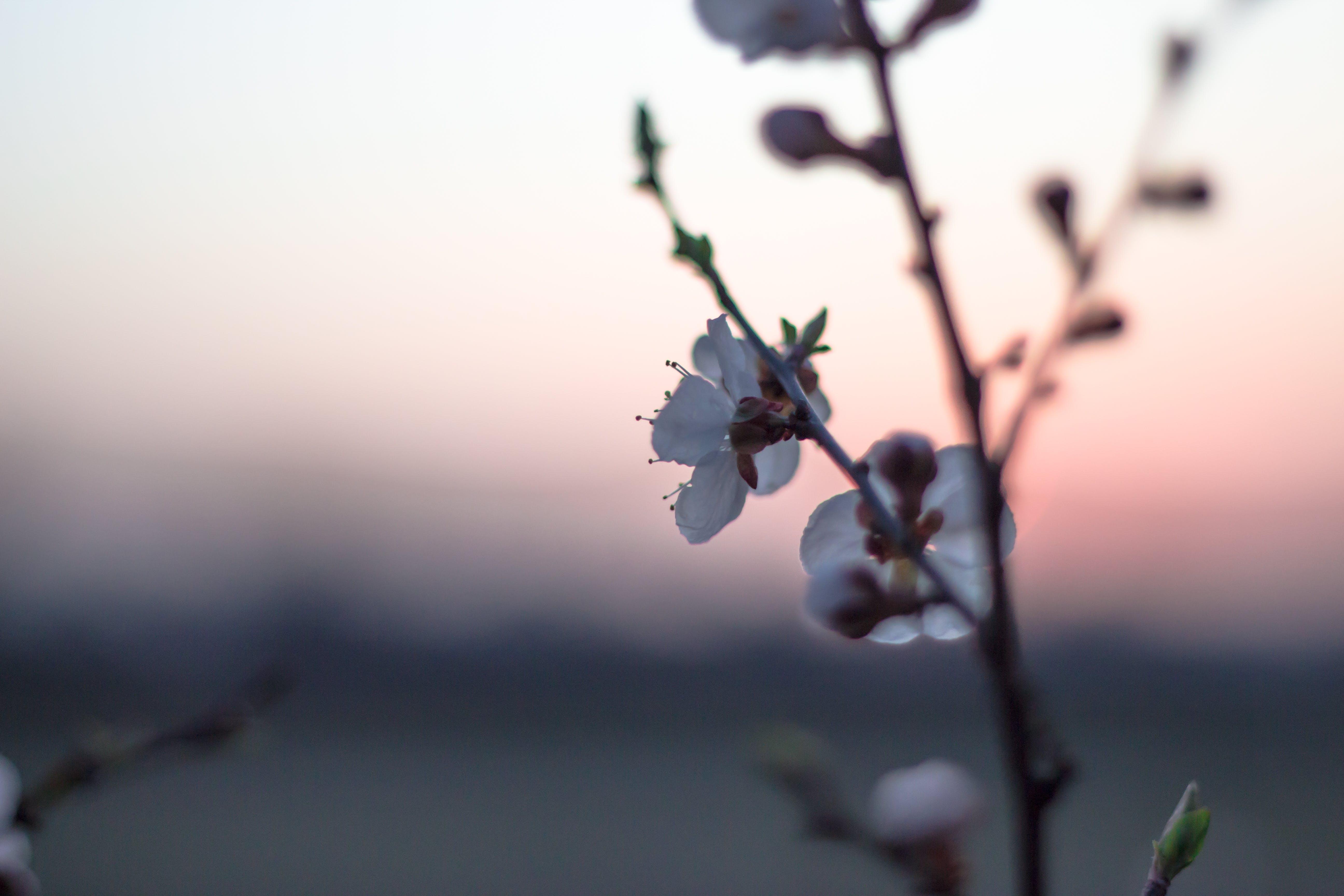 Free stock photo of flower, spring, sunset