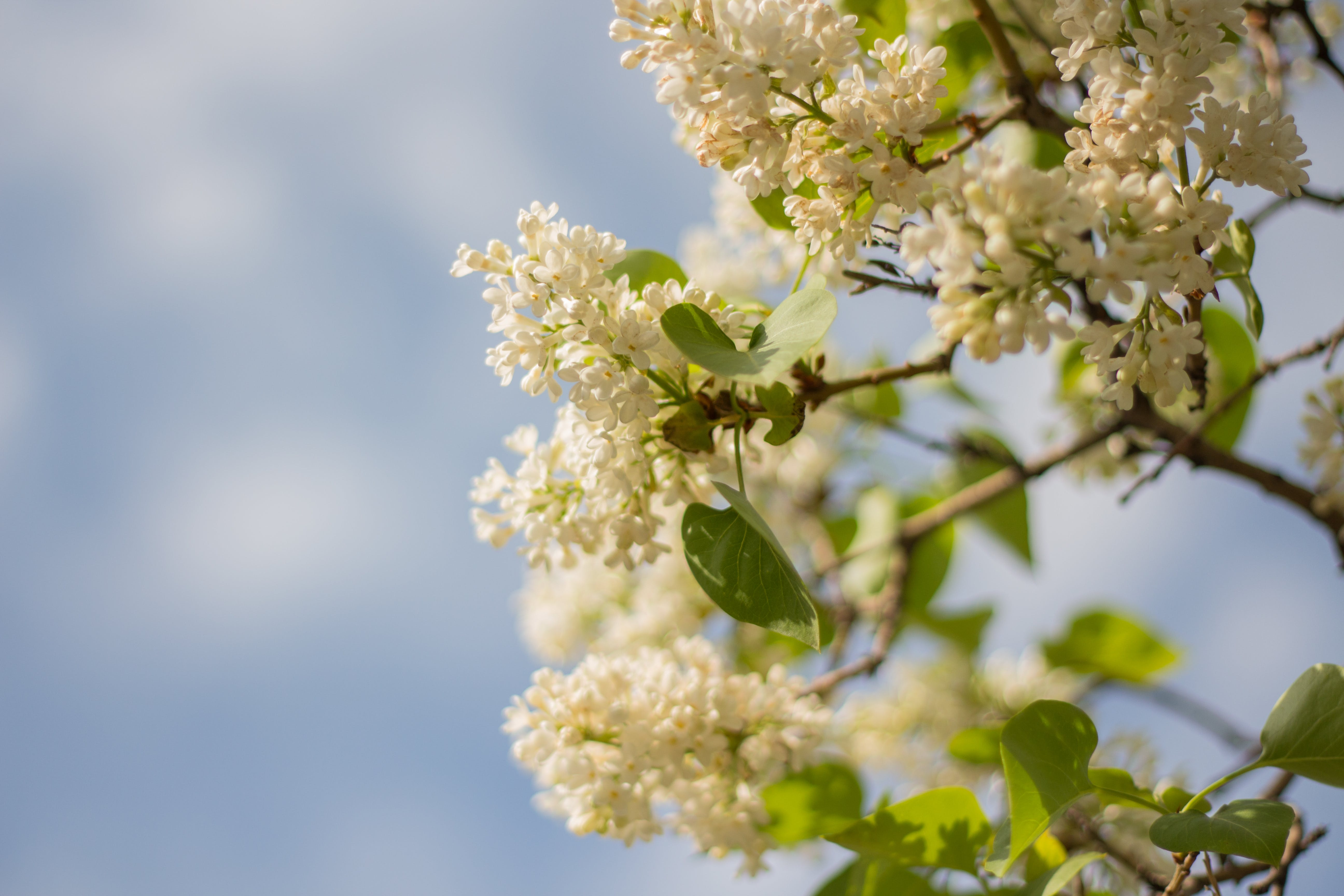 Free stock photo of bloom, blossom, flower, lilac