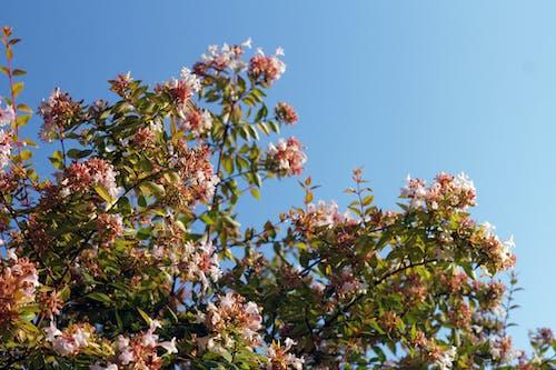 Free stock photo of abelia, blue sky, bush, evergreen