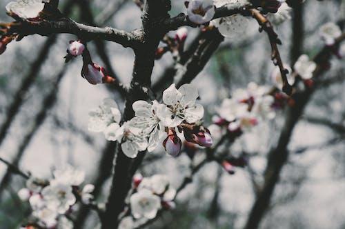 Gratis lagerfoto af æbleblomster, blomster, blomstrende, close-up