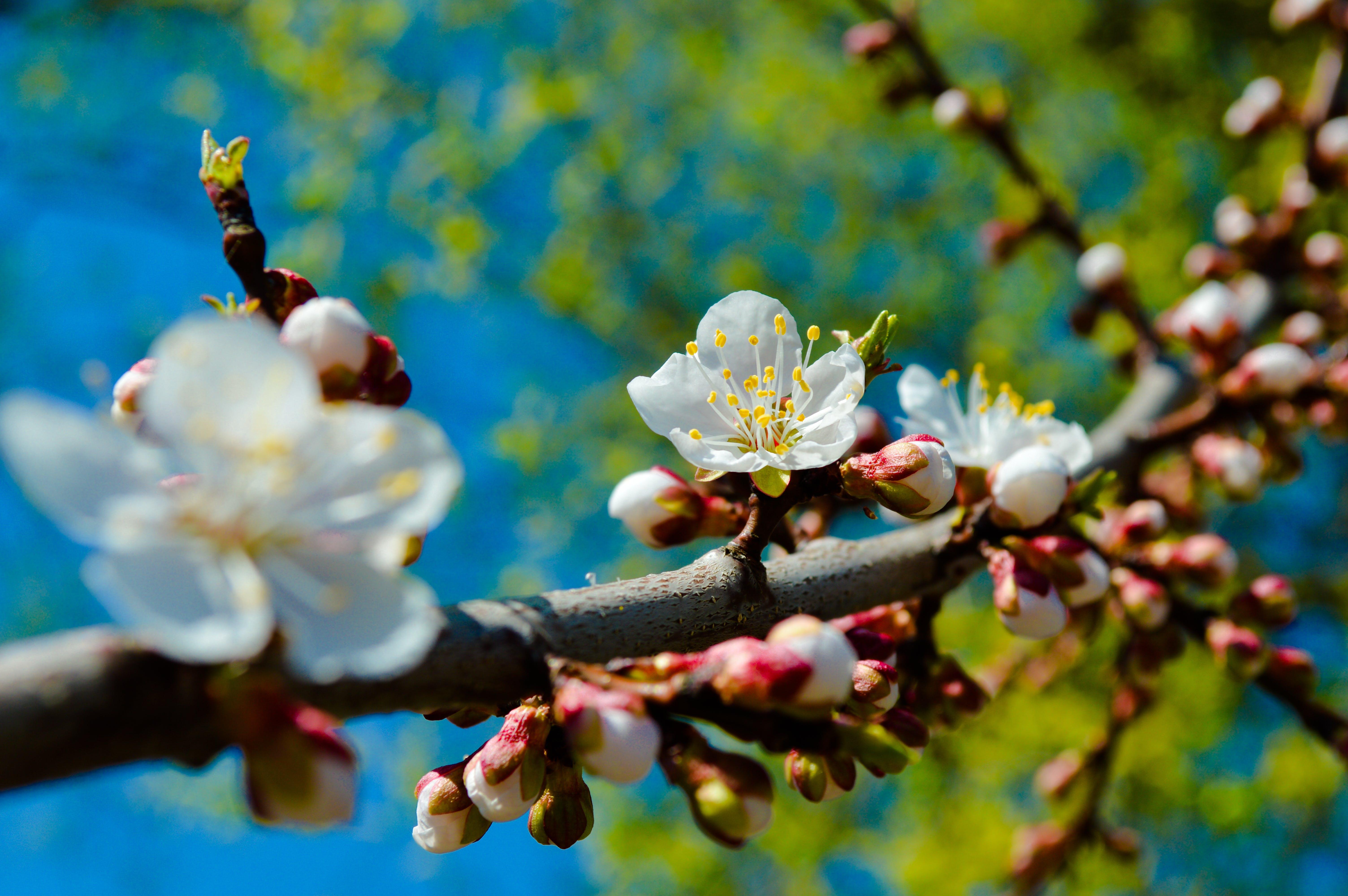 Free stock photo of цветущая ветка, весна