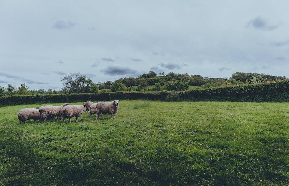 akkerland, beesten, boerderij