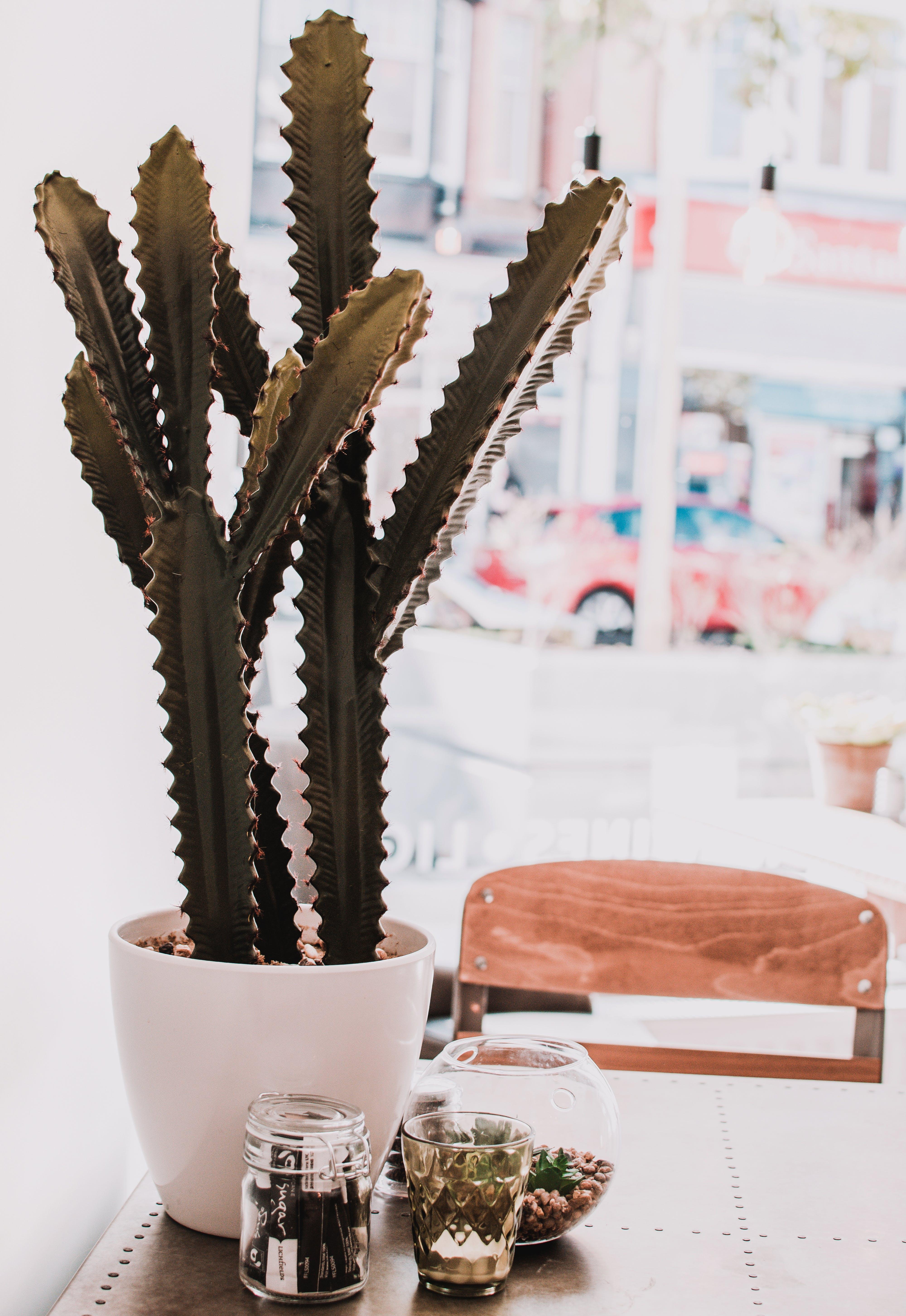 Green Cactus in Pot