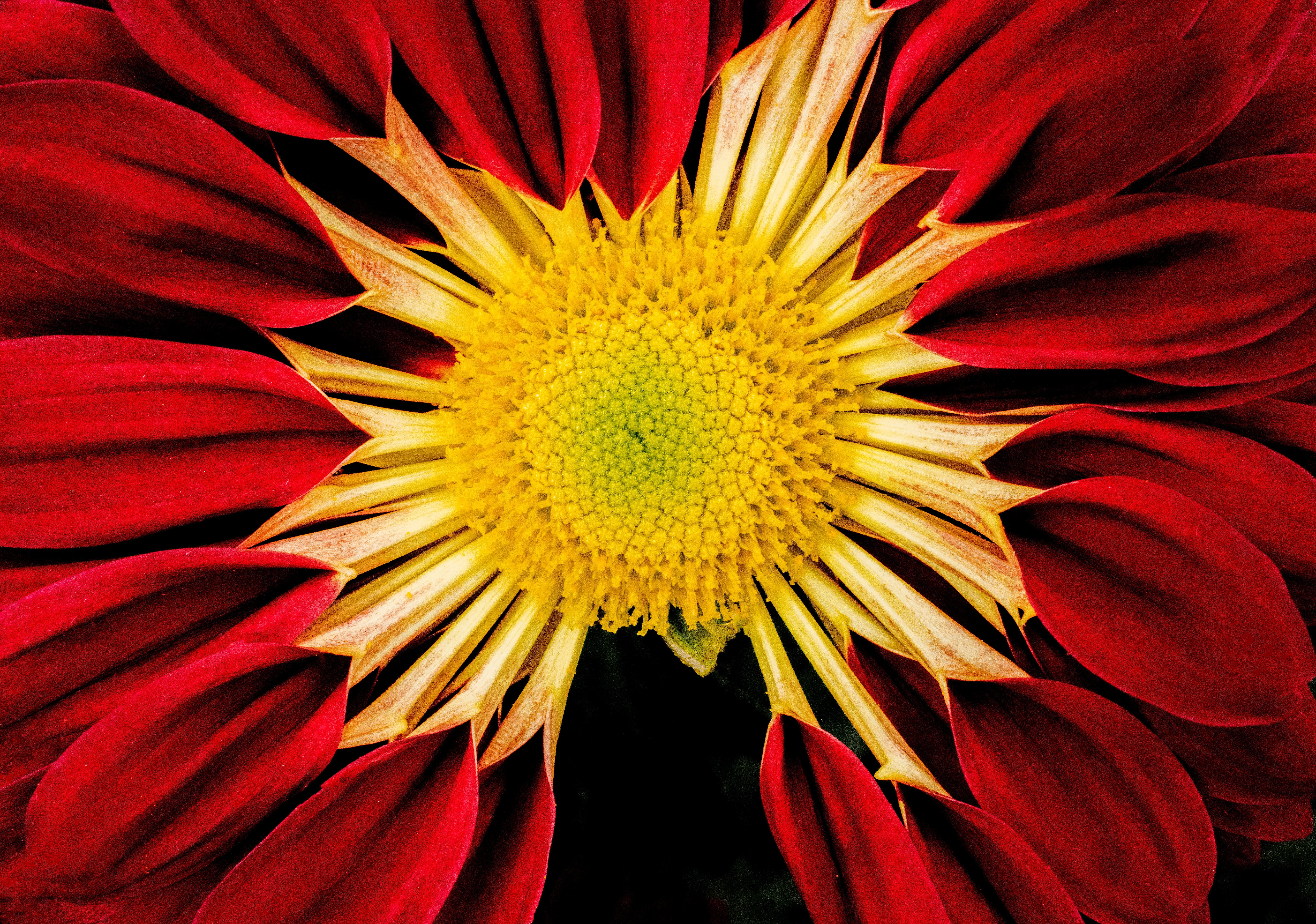 Closeup Photo of Red Blanket Flower
