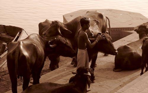 Photos gratuites de ganges, inde, saintcoly, vaches
