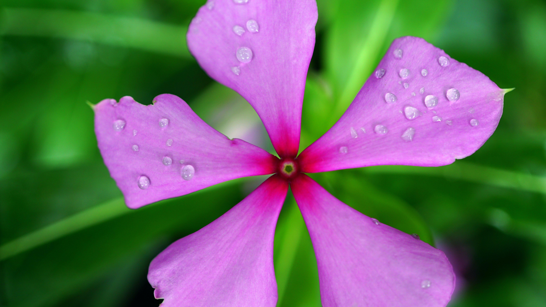 blomma, blomning, botanisk