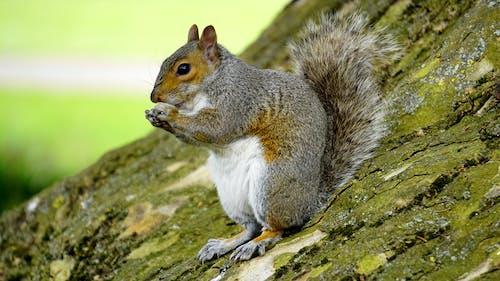Grey Orange Squirrel