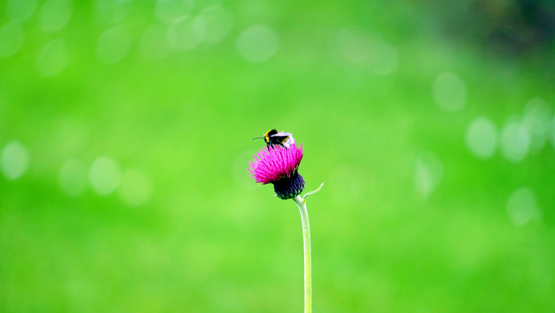 Kostenloses Stock Foto zu biene, blühen, blume, blüte