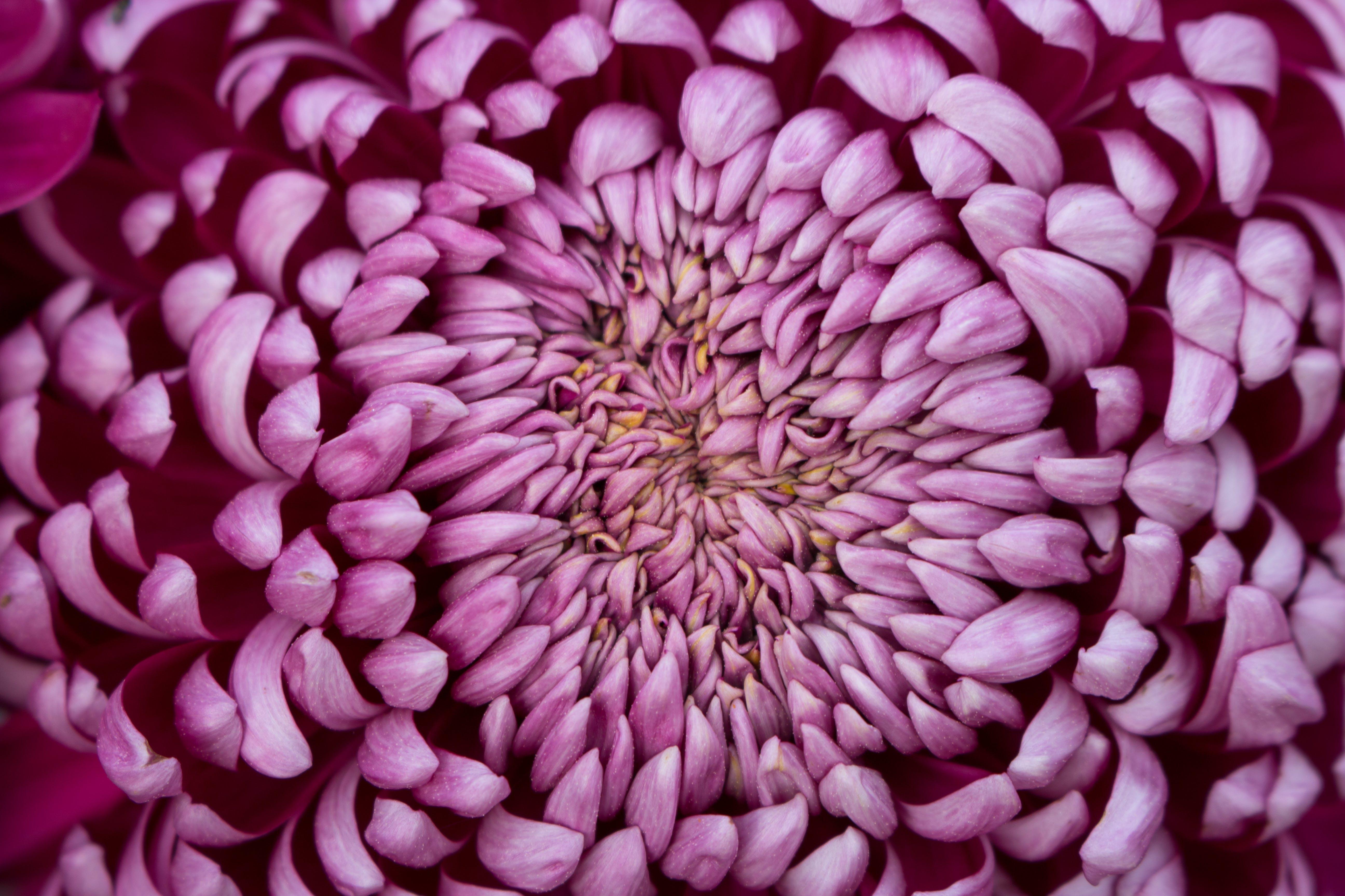 Free stock photo of chrysanthemum, close up, flower, nature