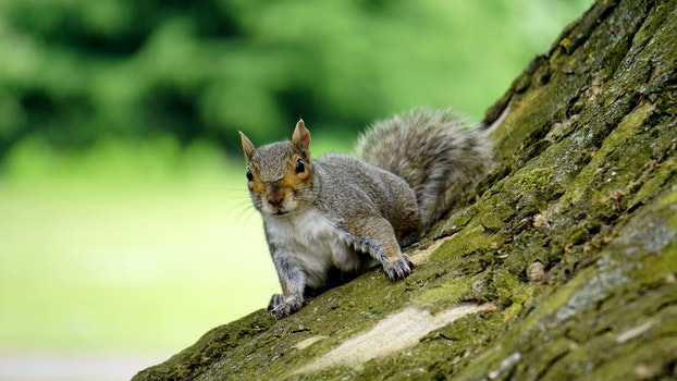 Grey Squirrel on Wooden Trunk during Daytime