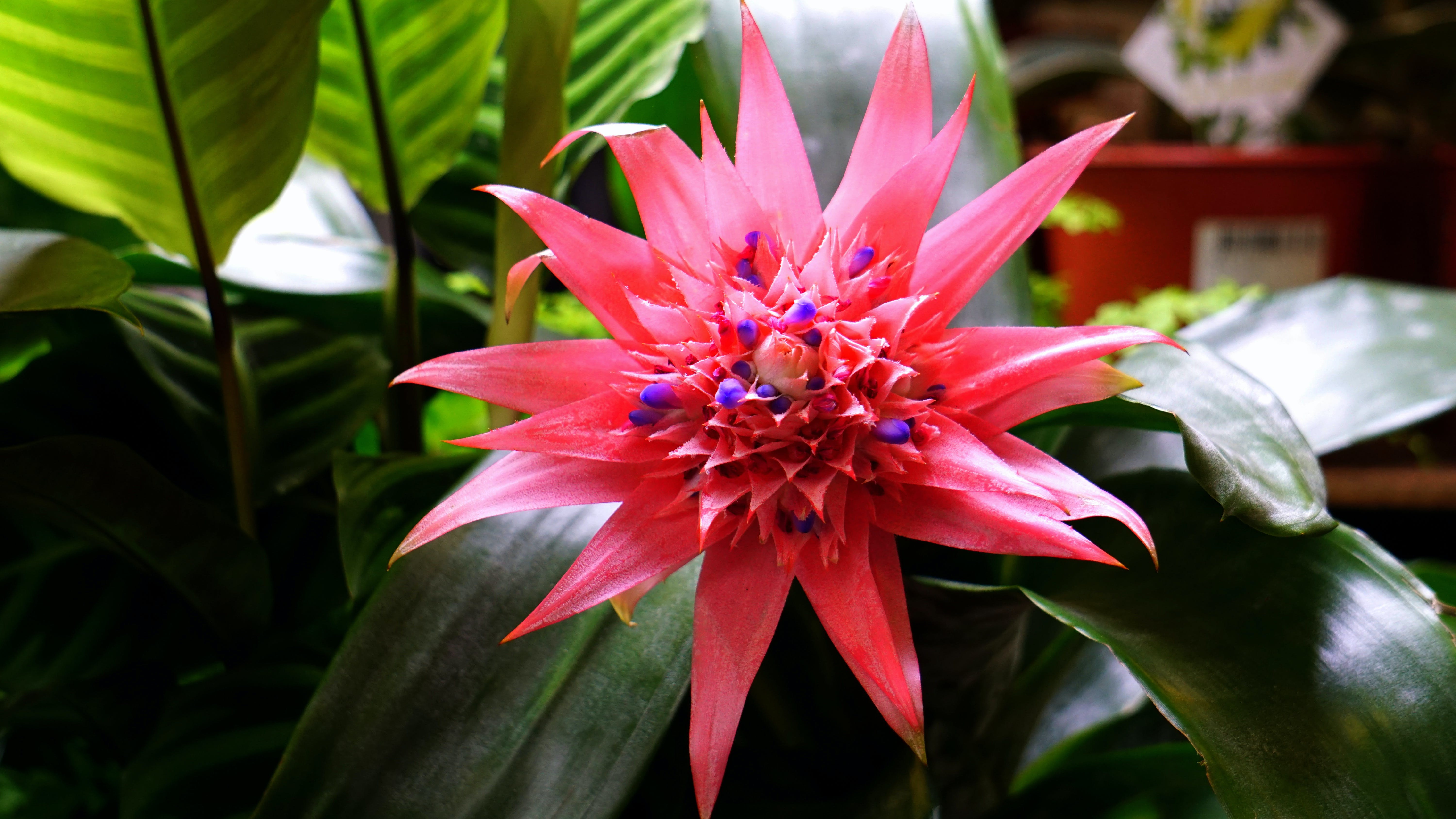 Pink Bromeliad Flower in Close-up Photography