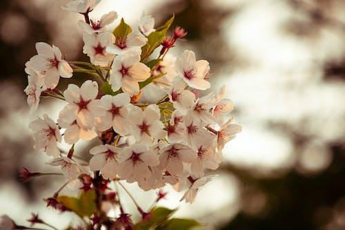 Ilmainen kuvapankkikuva tunnisteilla kevään kukka, kevät, kirsikankukat, kukat