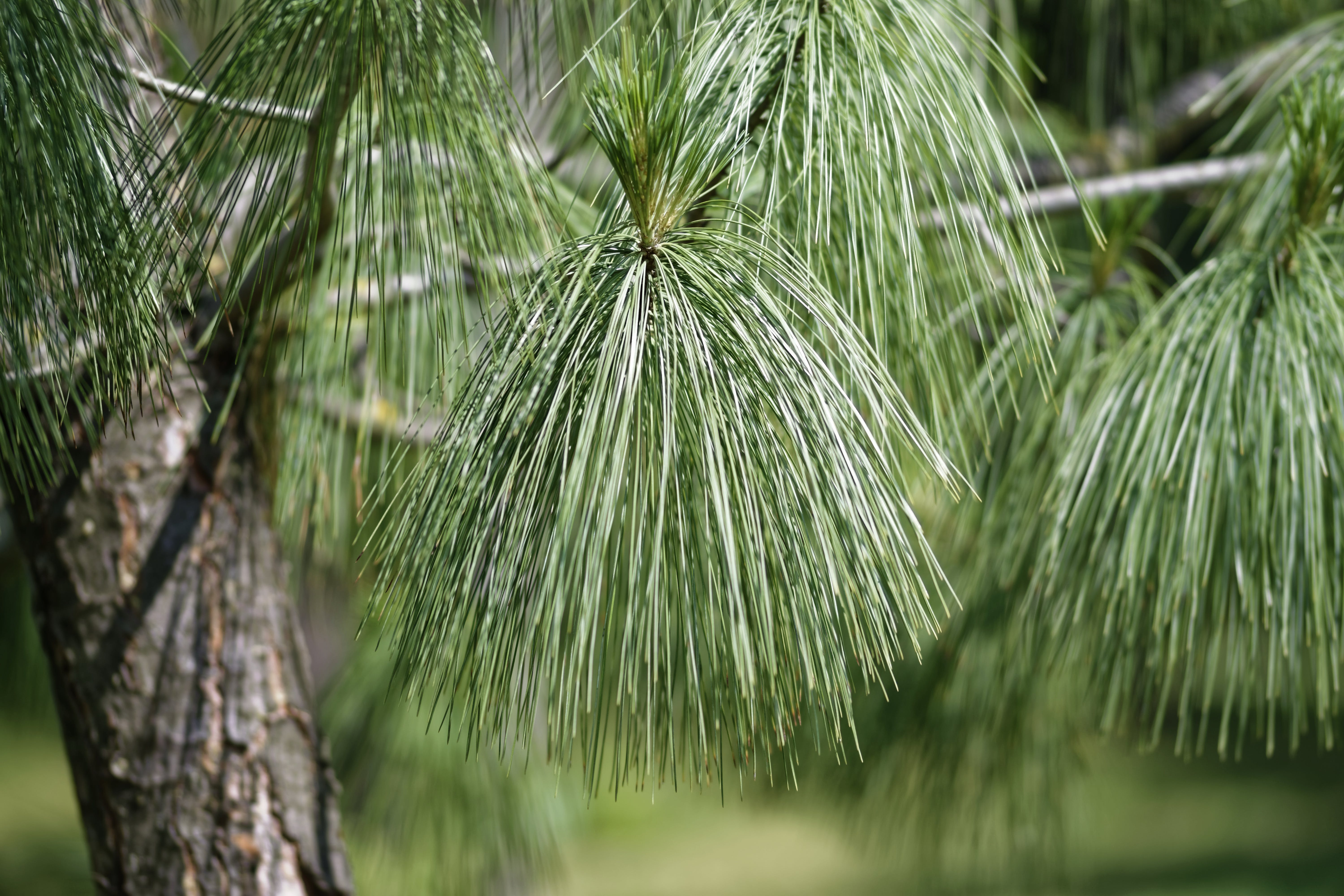 Selective Focus Photo of Pine Tree
