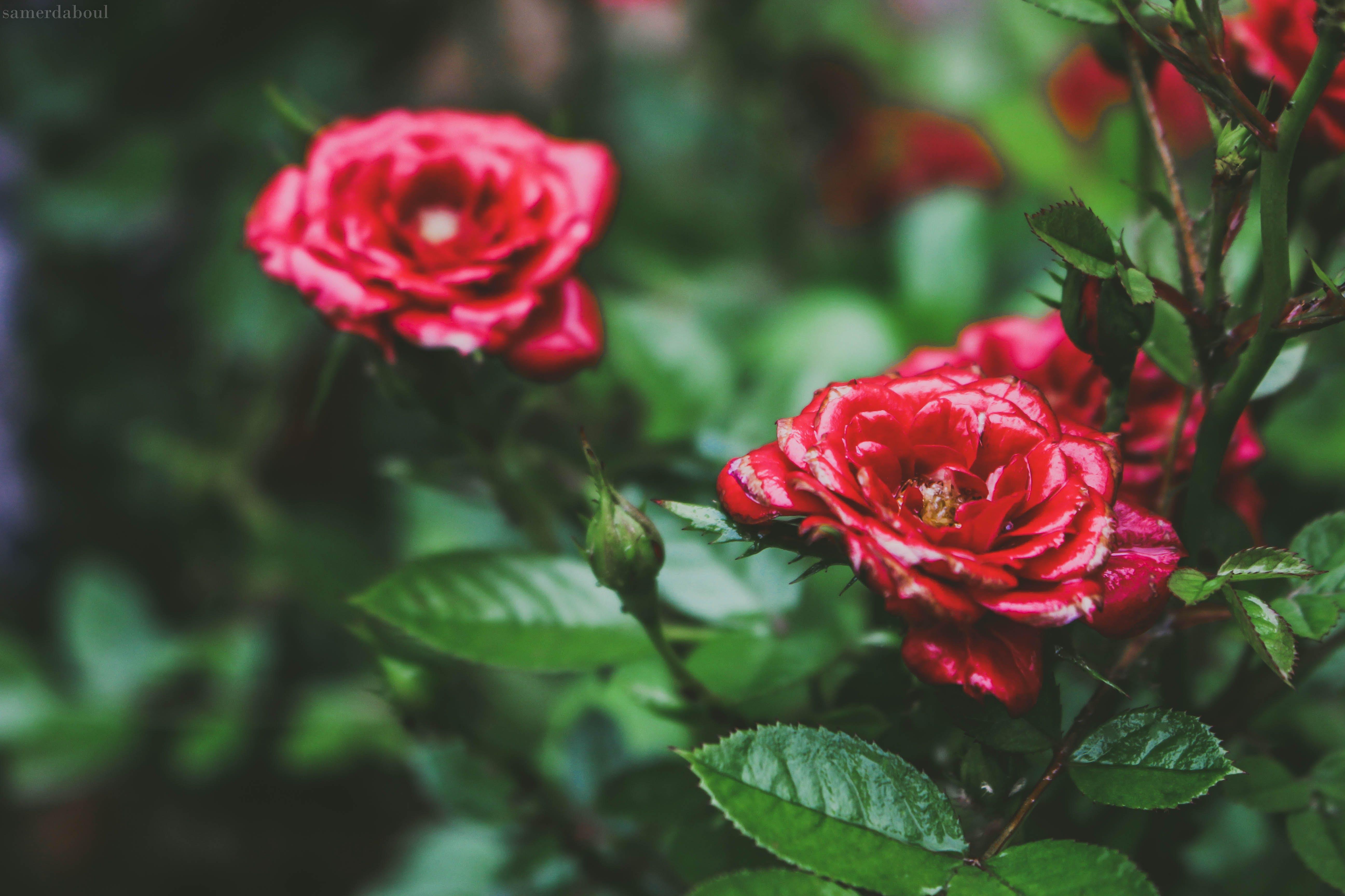 Selective Focus Photo Og Red Petaled Flowers