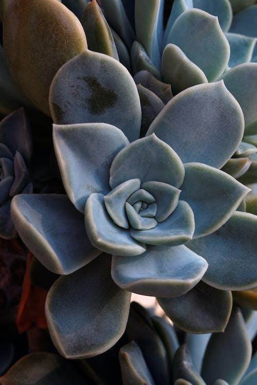 Free stock photo of desertrose, echeveria, succulent, succulent plants