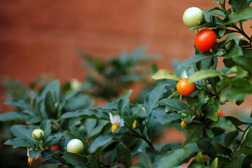 Free stock photo of fruits, plant, potplant, red fruits