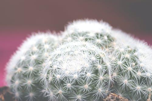 仙人掌, 仙人掌植物, 仙人掌花, 刺 的 免費圖庫相片