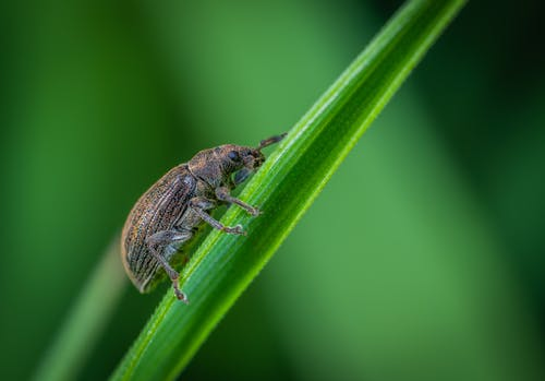 Macro Photo of Brown Weevil Perched on Green Leaf