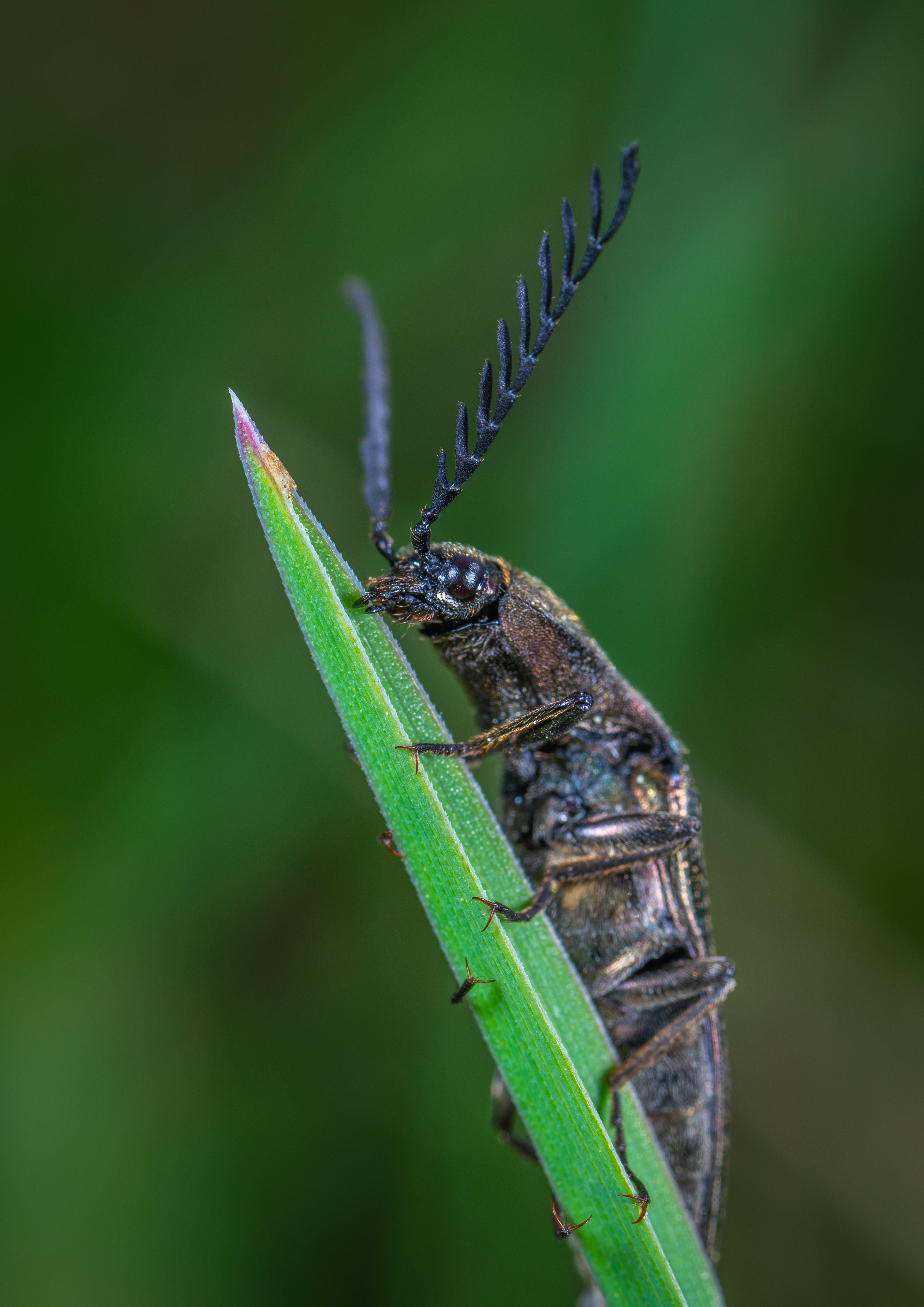 Selective Focus Photography of Black Leaf-horned Beetle Perched on Green Leaf