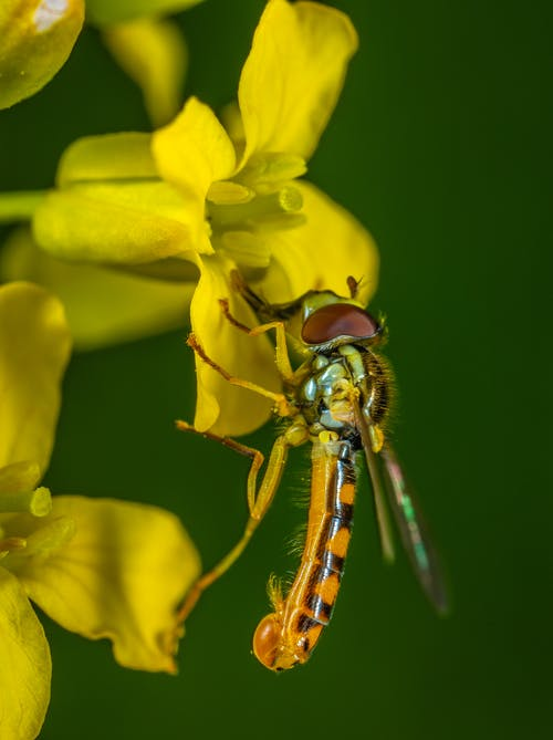 Selective Focus Photography of Yellow Robber Fly Perched on Yellow Petaled Flower