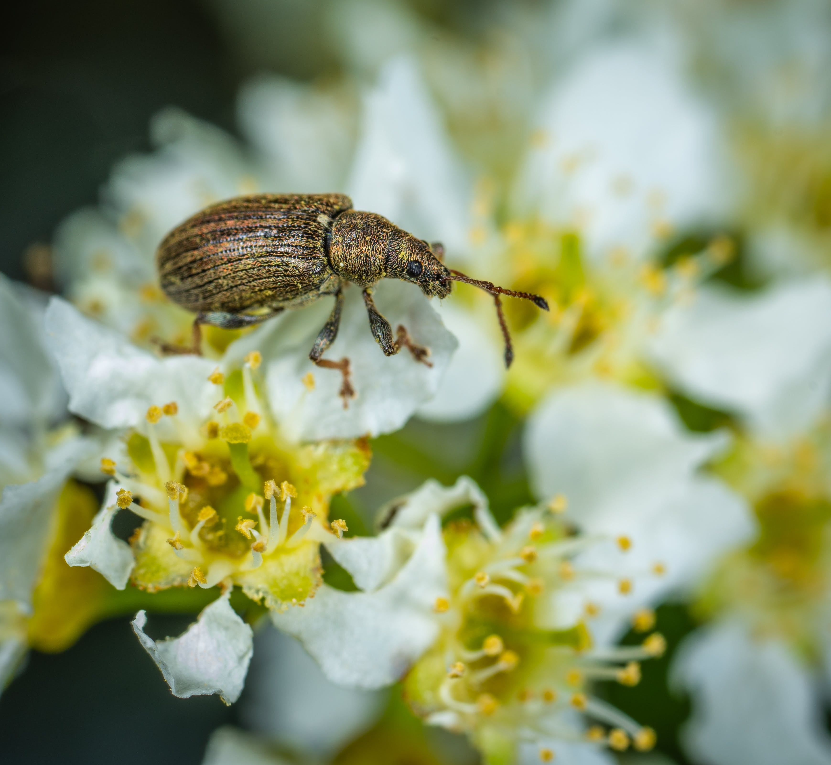 Brown Weevil Perched on White Flower