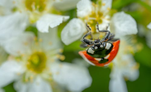 Selective Focus Photography of Ladybug Perched on White Petaled Flower