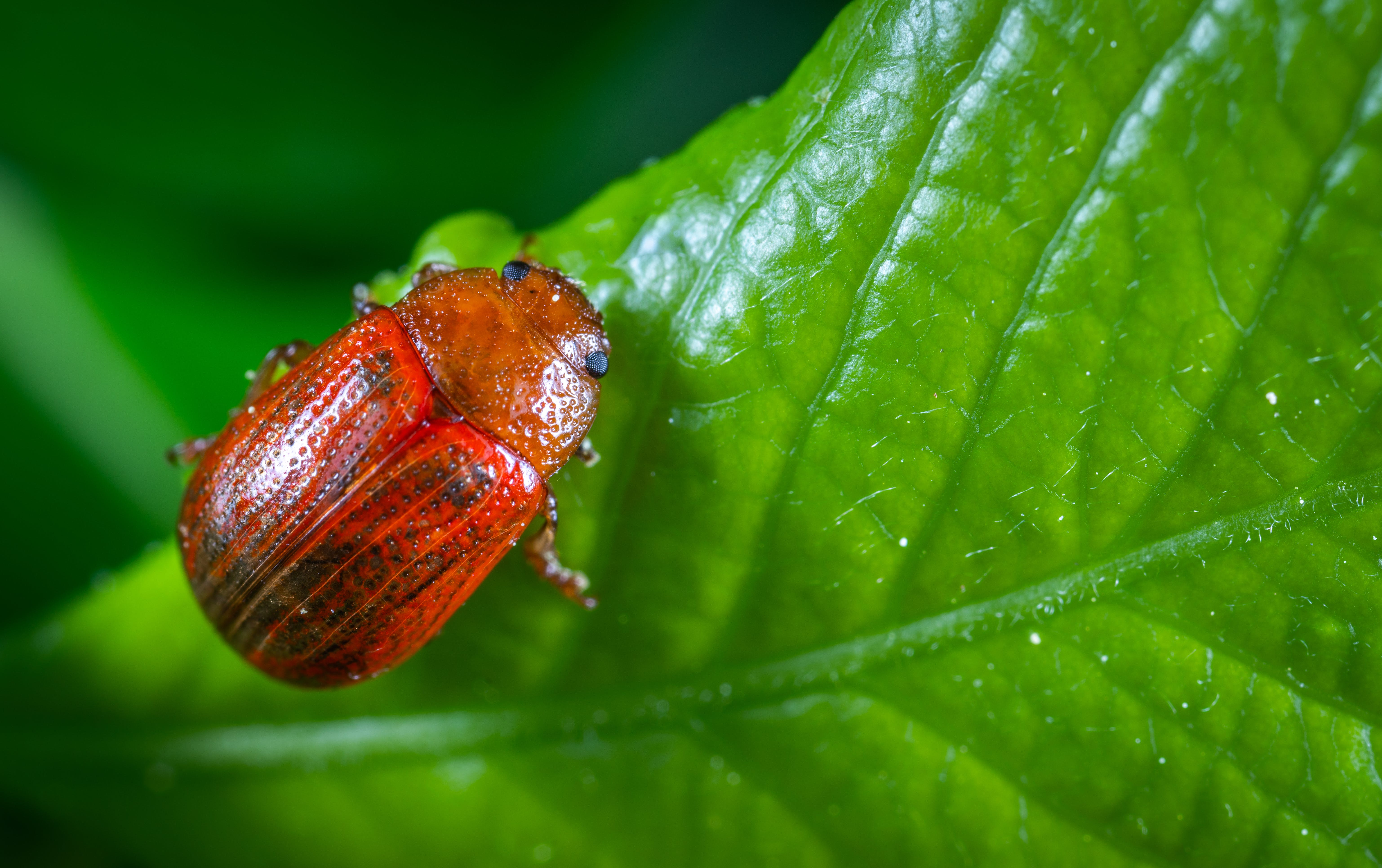Selective Focus Photography of Red Beetle Perched on Green Leaf Plant