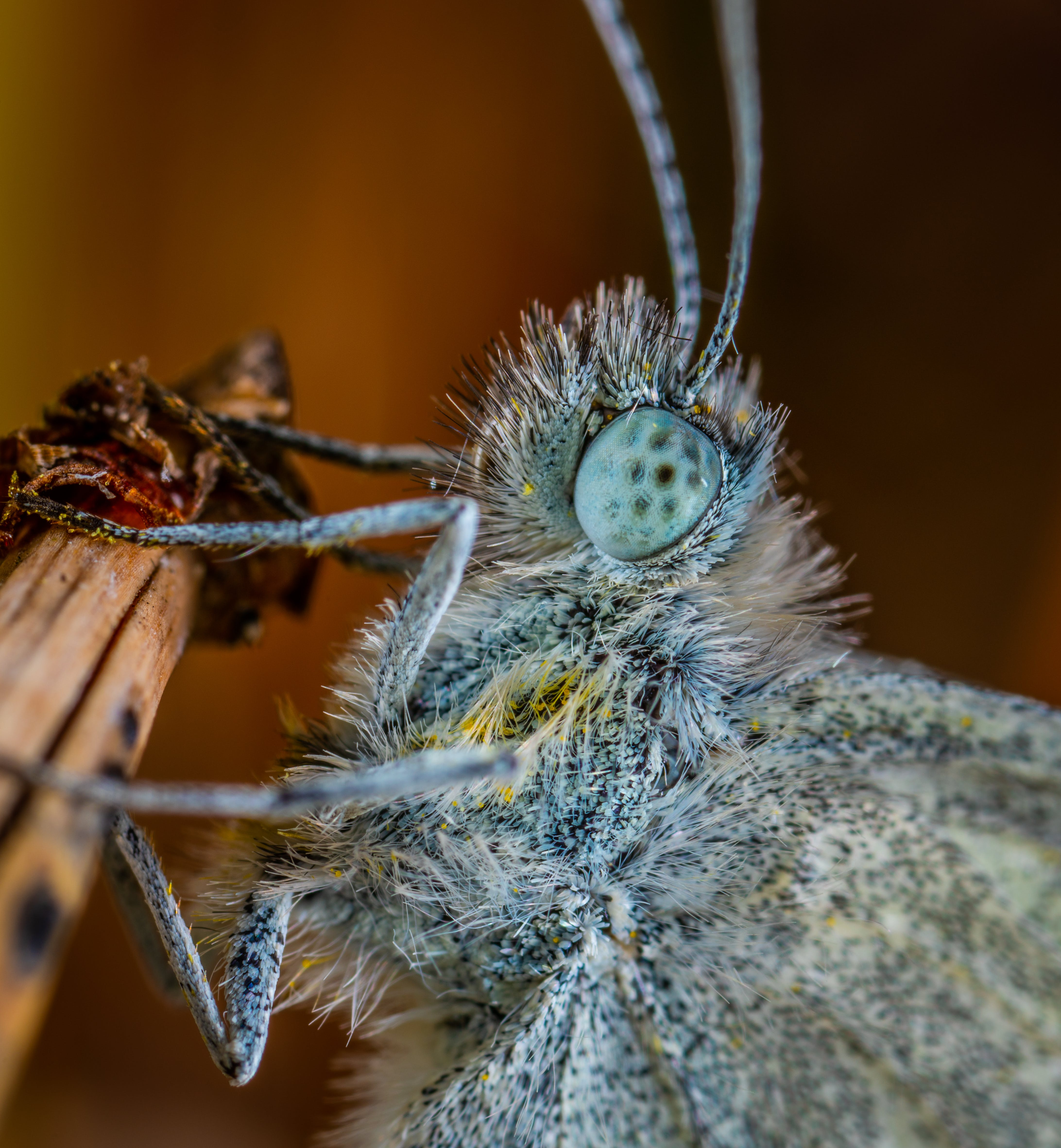 Gray Butterfly Macro Photography