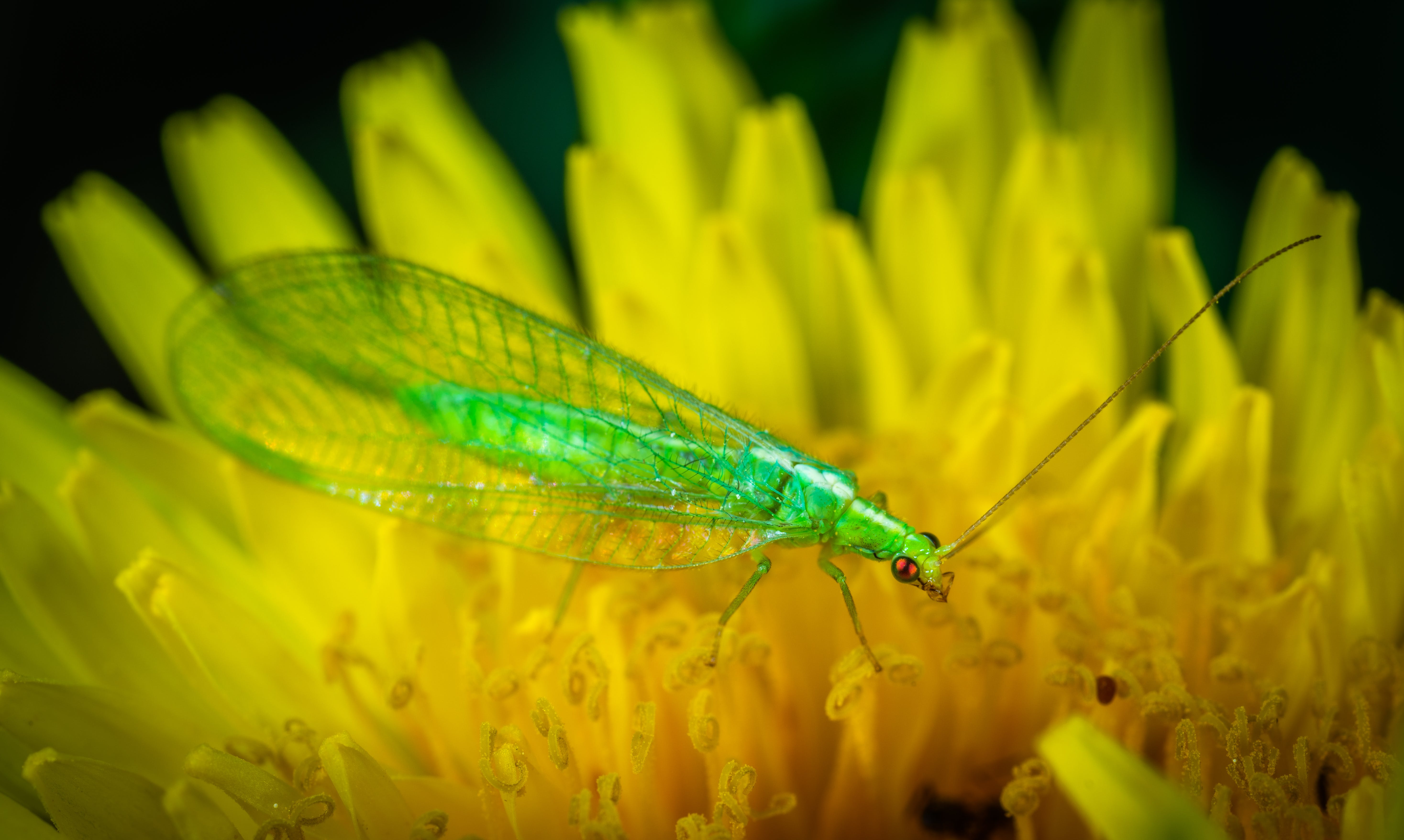 Green Dobsonfly Perched on Yellow Flower