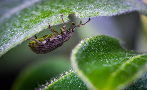 Selective Focus Photography of Black Zophobas Morio Beetle Perched Under Green Leaf