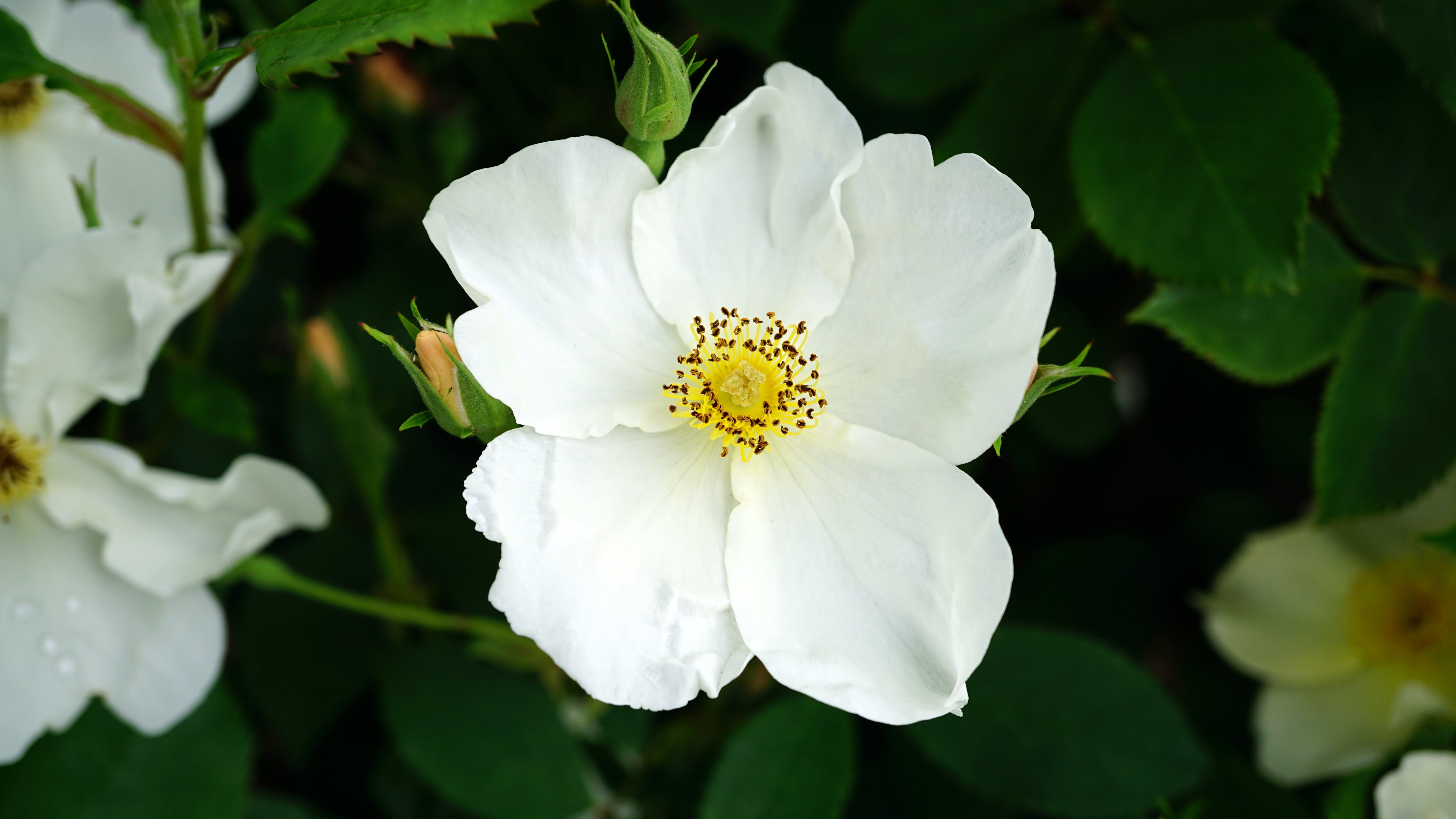 Close-up Photography of White Rose Flower in Bloom